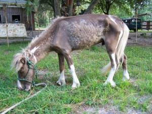 2-tone-timmy-miniature-horse-rescue-horse-florida-story-1