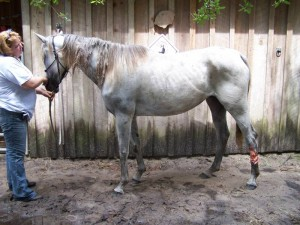 anglo-arab-rescue-horse-florida-story-willow-2