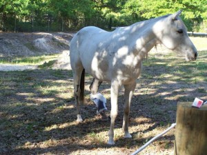 anglo-arab-rescue-horse-florida-story-willow-5