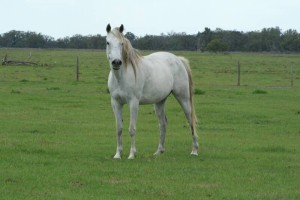 anglo-arab-rescue-horse-florida-story-willow-7