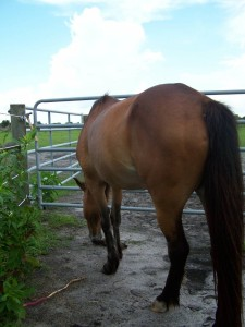 mare-rescue-horse-florida-story-frolic-5