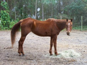 quarterhorse-mare-rescue-horse-florida-story-hailey-2