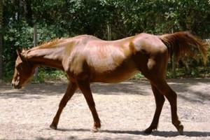 quarterhorse-mare-rescue-horse-florida-story-hailey-5